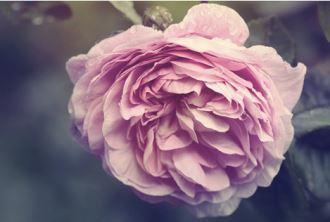 玫瑰爱好者不能错过的Crabtree & Evelyn瑰珀翠全新Evelyn Rose系列